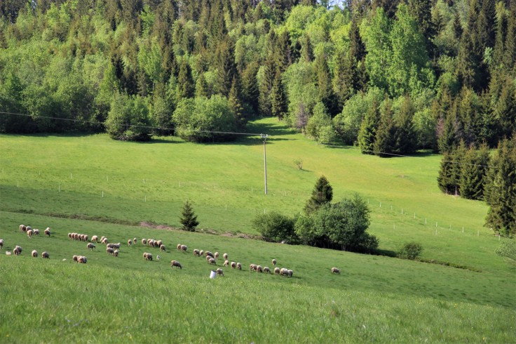 ovce ždiar
