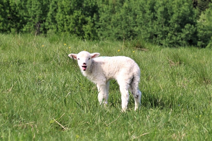 ovečka ždiar
